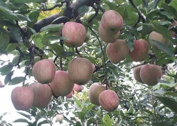 小知識:蘋果樹可以活多少年?