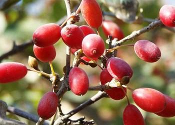 中藥材專題之山茱萸種子催芽方法