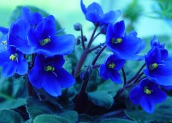 非洲紫羅蘭的花語和故事(花文化)