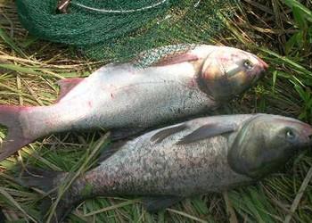 鲢鱼和鲶鱼的区分辨别(水产养殖知识)