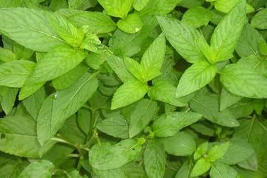 薄荷最適宜的栽種時間及繁殖方法