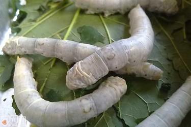 蠶和蟬的區分:兩者的習性食性及用途有什么不同?