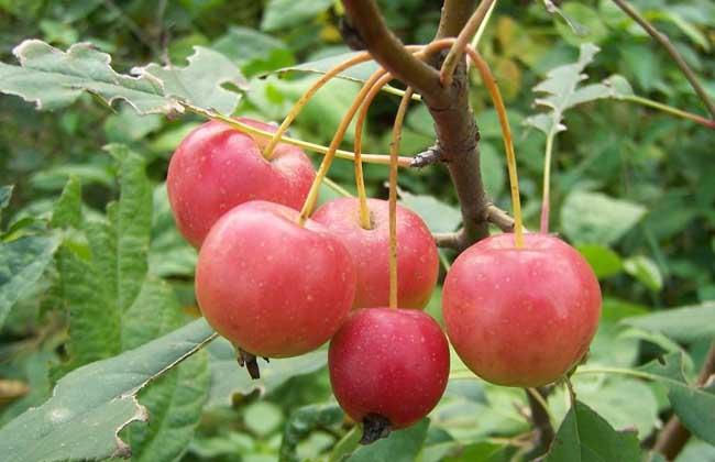 (膳食营养)海棠果的食用功效与作用