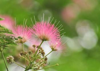 合欢花的产地分布(园艺技术)