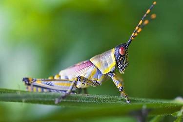 蝗蟲的天敵是什么(農業昆蟲知識)