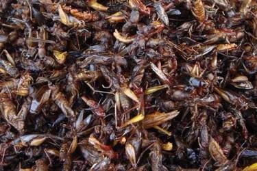 蝗蟲的食用方法(特種農產品加工)