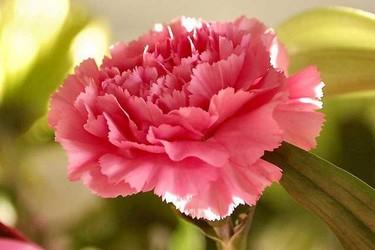(花卉知識)康乃馨和玫瑰的區分辨別