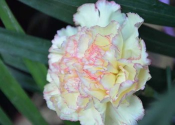 花卉技術:康乃馨的栽種方法和注意事項