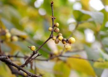 (花木園藝知識)臘梅和梅花的區分辨別