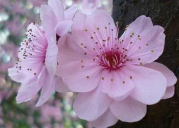 中國十大名花分別是哪些(花卉知識)?