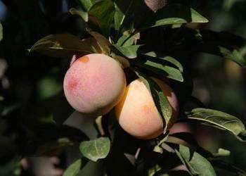 水果:李子的食用功效与作用及禁忌