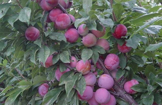 【水果种植管理】李子树苗培育技术介绍图片