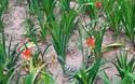 """清熱解毒中藥""""射干""""的栽植種養前景分析"""