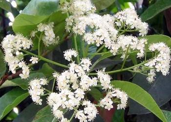 花木文化:石楠花的味道和花語