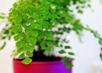 园艺花木知识:铁线蕨的作用有哪些