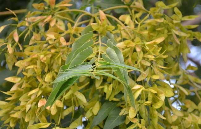 香椿和臭椿的区分辨别 农业科普知识