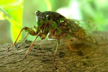 蝉的寿命有多长(生物研学知识)