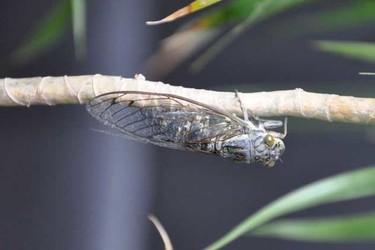 蟬一生的生長過程(特種養殖與生物科普)