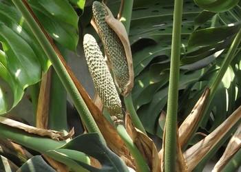 龟背竹的繁育方法(园艺知识)