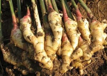 蔬菜良种专题:高产生姜品种有哪些?