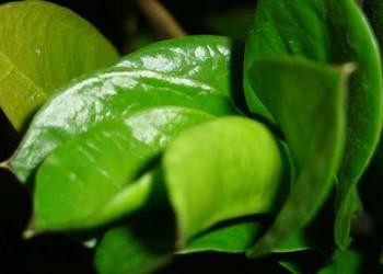 花木文化:金錢樹的花語