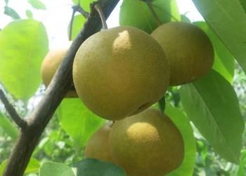 (養生膳食)梨的食用功效與作用