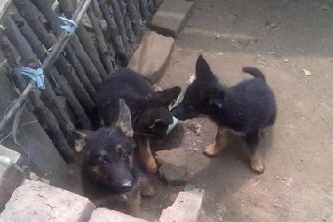 肉狗飼養項目的發展前景(養肉狗創業)
