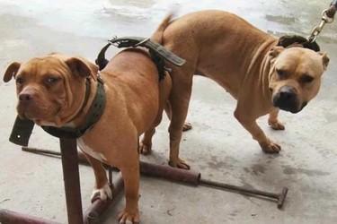 (養肉狗創業)肉狗的人工飼養項目賺錢嗎?