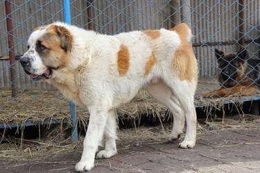 肉狗飼養的常見誤區(肉狗養殖)