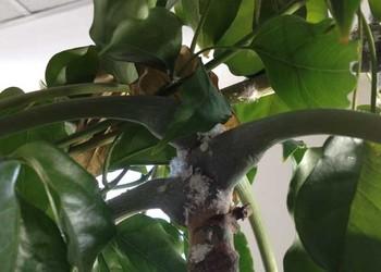 幸福樹的繁育方法(園藝知識)