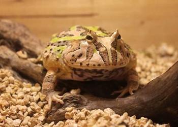 蝴蝶角蛙壽命多長(生物特養知識)