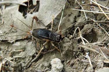 蟋蟀的人工飼養技術(特種養殖)