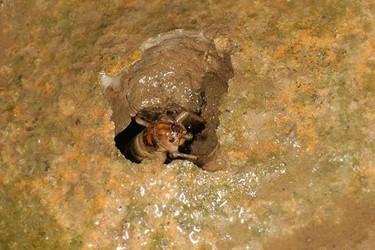 (特種養殖)蟋蟀為什么會鳴叫?