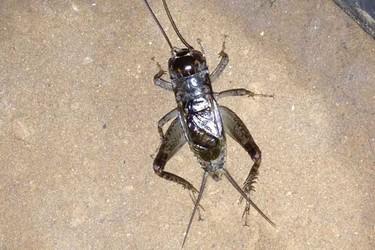 (生物知識)蟋蟀和蛐蛐的區分辨別