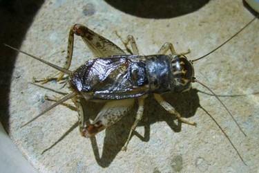 (生物知識)蟋蟀和蟈蟈的區分辨別