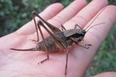 科普知識與特種養殖:蟋蟀是昆蟲嗎?