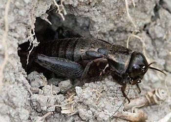 視頻資料:斗蟋蟀的人工養殖技術