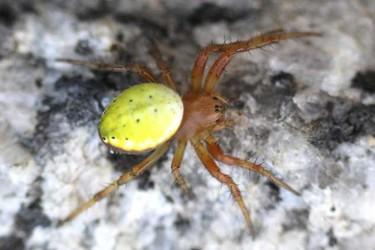 蜘蛛的食性特征,蜘蛛吃什么食物?