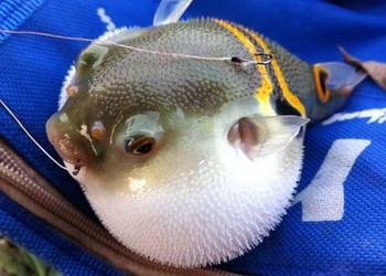 观赏鱼养殖:河豚鱼饲养喂养技术
