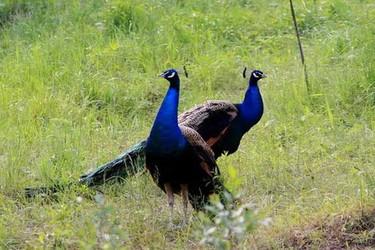 藍孔雀人工飼養技術【特種養殖】