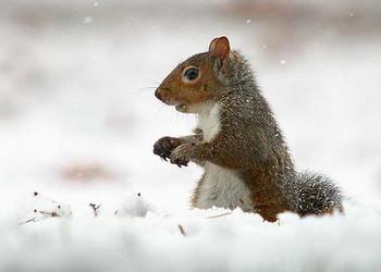 (特種養殖)雪地松鼠的人工飼養方法