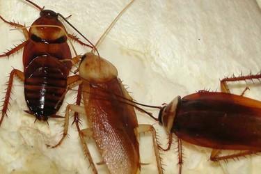 蟑螂人工飼養技術(特種養殖)