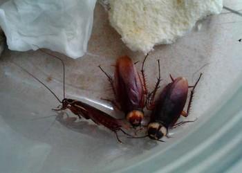 (農業生物科普)蟑螂吃什么食物?