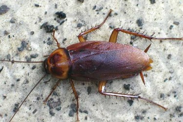 蟑螂一般可以活多長時間?