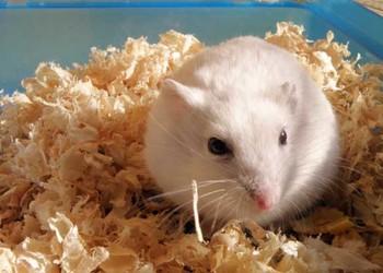 銀狐倉鼠如何進行人工養殖(農業特養)?