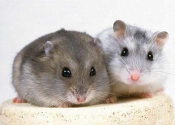(特種養殖)倉鼠的壽命多長?倉鼠的飼養禁忌事項