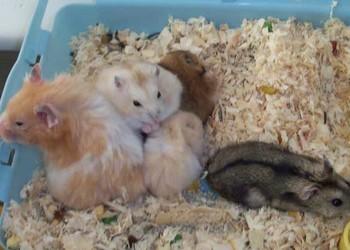 (特種養殖)養倉鼠是否會染上鼠疫?
