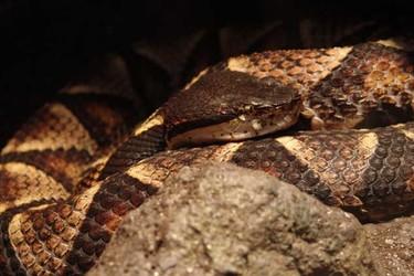 五步蛇人工饲养技术(特种养殖)