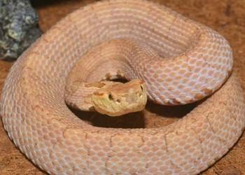 五步蛇和眼鏡蛇哪個毒?(生物科普)