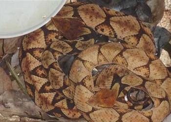 五步蛇是保护动物吗?(生物科普)